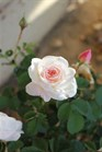 /Images/johnsonnursery/product-images/Rose-Brindabella-Touch-of-Pink-003-1-480x693_18tvpbqa1.jpg