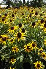 /Images/johnsonnursery/product-images/Rudbeckia Little Goldstar2071413_35ht3uj3h.jpg
