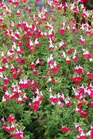 /Images/johnsonnursery/product-images/Salvia Little Kiss_pdmmztbga.jpg