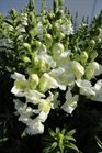/Images/johnsonnursery/product-images/Snapdragon Sonnet White041713_oxz5vxha3.jpg