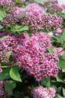 /Images/johnsonnursery/product-images/Spiraea Double Play Artist2051016_f1gbbrmmb.jpg