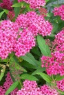 /Images/johnsonnursery/product-images/Spiraea Neon Flash_rpme2tm5z.jpg