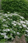 /Images/johnsonnursery/product-images/Spiraea Snow Storm_hcjtlgtu7.jpg