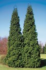 /Images/johnsonnursery/product-images/Thuja Spring Grove_c0d282ok4.jpg