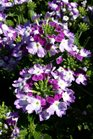 /Images/johnsonnursery/product-images/Verbena Lanai Twister Purple032316_smfu57n0k.jpg