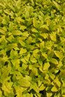/Images/johnsonnursery/product-images/Veronica Aztec Gold2041316_uzvhu227h.jpg