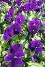 /Images/johnsonnursery/product-images/Viola Sorbet XP Purple2100213_djv5huunz.jpg