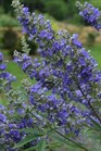 /Images/johnsonnursery/product-images/Vitex Delta Blue_o93om19dv.jpeg