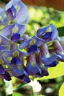 /Images/johnsonnursery/product-images/Wisteria Blue Moon_a2t8pslfr.jpg