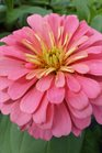 /Images/johnsonnursery/product-images/Zinnia Magellan Salmon2050216_gxer92rhi.jpg